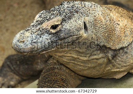 Powerful and patient Komodo Dragon - stock photo