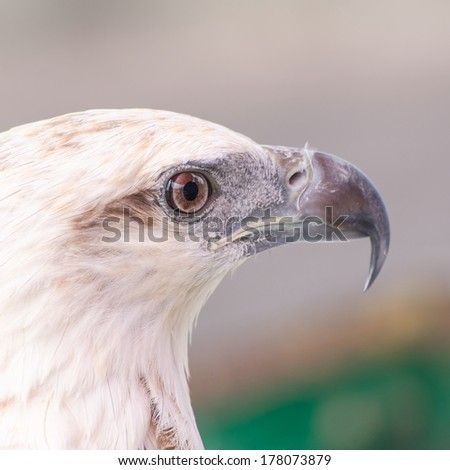 Powerful Bald Eagle Looks On - stock photo