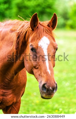 Powerful beautiful horse standing in the field and looking straight. Close up of horse head - stock photo