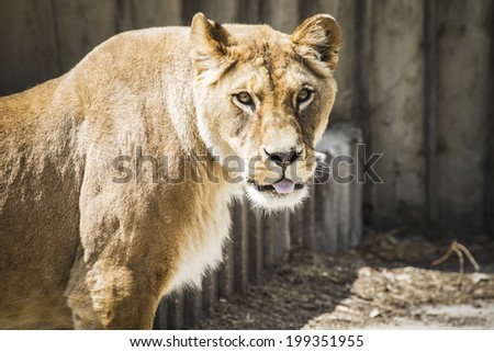 Powerful lioness resting, wildlife mammal withbrown fur - stock photo