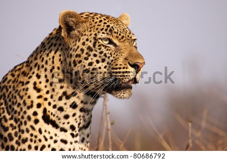 Powerful male leopard stare - stock photo