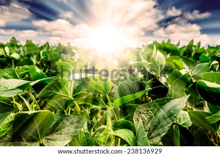 Powerful Sunrise behind closeup of soybean plant leaves. Blue Sky with white clouds and golden light. Focus on the leaves. - stock photo