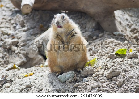 Prairie-dog  - stock photo
