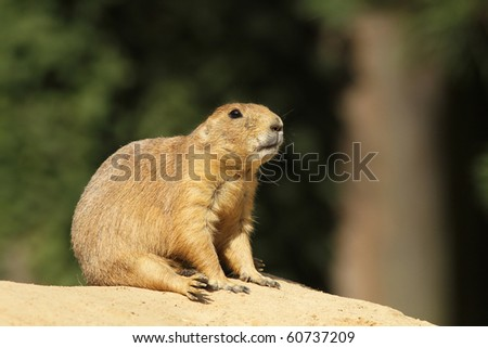 Prairie dog - stock photo