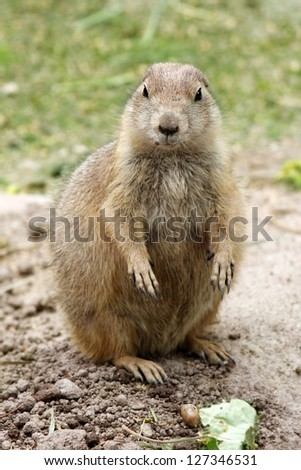 Prairie dog  close-up of a cute prairie dog - stock photo