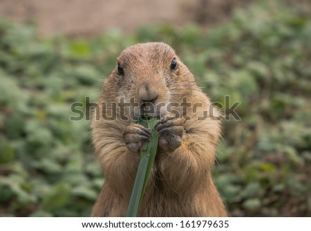 Prairie dog eating a piece of grass - stock photo