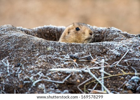 Prairie Dog emerging from frost covered burrow/Prairie Dog/Prairie Dog - stock photo