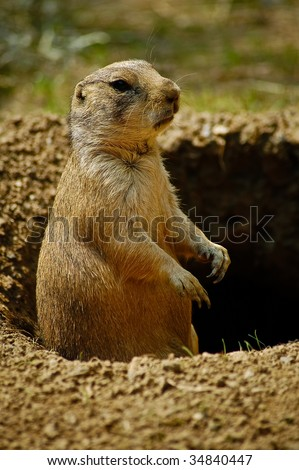 Prairie Dog / Groundhog in Hole Portrait (doesn't see it's shadow) - stock photo