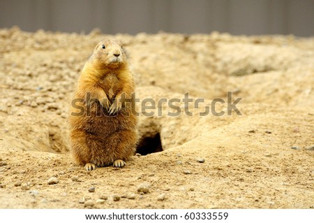 Prairie dog in Minnesota Zoo
