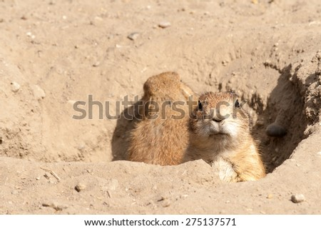 Prairie dog looking into the camera from it's hole - stock photo