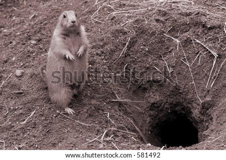 Prairie Dog near rodent. B&W sepia - stock photo