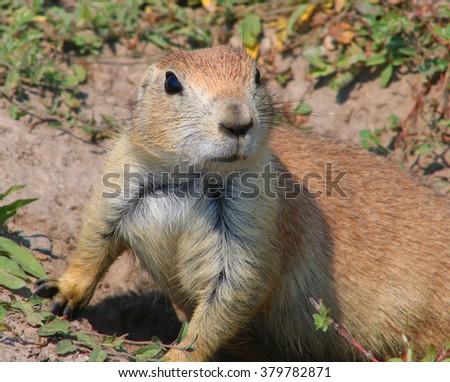 Prairie dog on alert - stock photo