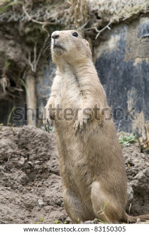 Prairie Dog On Lookout - stock photo