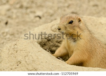 Prairie Dog peeking out of his hole in Virginia. - stock photo