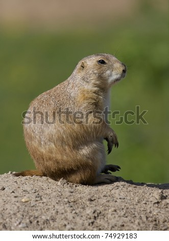 Prairie Dog sits and watches at full alert. - stock photo