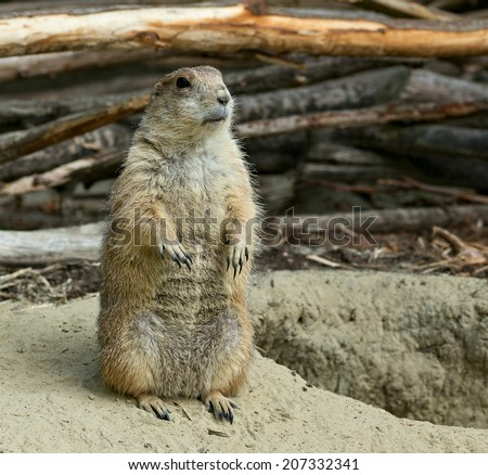 Prairie dog sitting by his hole
