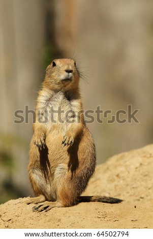 Prairie dog standing upright - stock photo
