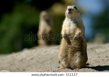 Prairie Dog Upright