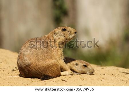 Prairie dog with baby - stock photo