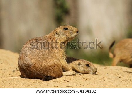 Prairie dog with baby laying next to it - stock photo