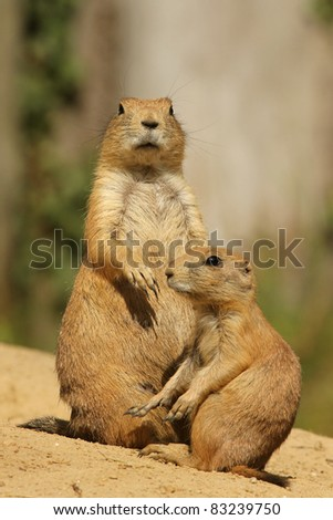 Prairie dog with her baby (focus on the big one) - stock photo