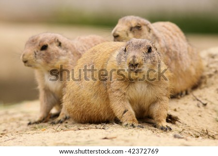 Prairie dog with two in the background - stock photo