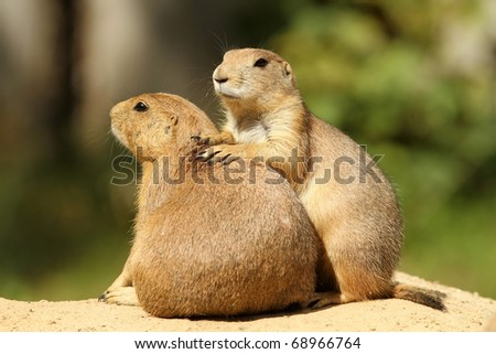 Prairie dogs - stock photo