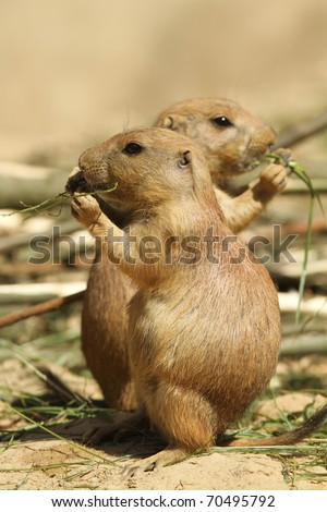 Prairie dogs eating - stock photo