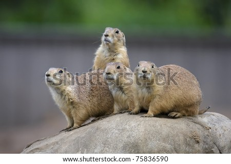 Prairie Dogs in a very alert state. - stock photo