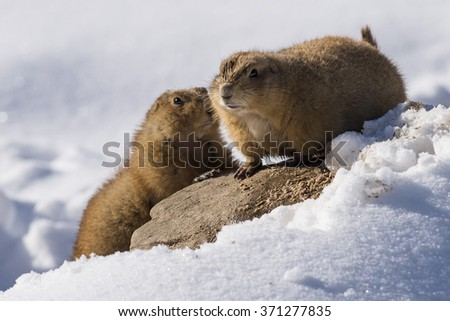 Prairie Dogs in the winter