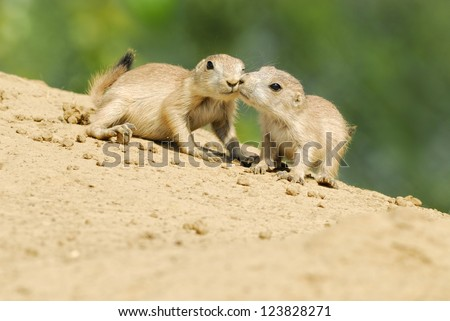 Prairie Dogs Kissing - A pair of baby Prairie Dogs looking into the camera sitting on the side of an earth mound with a blurred green foliage background - stock photo