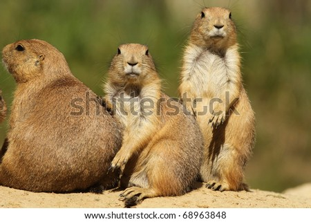 Prairie dogs looking at you - stock photo