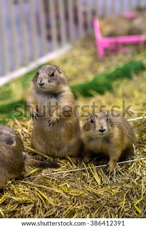 prairie dogs standing upright