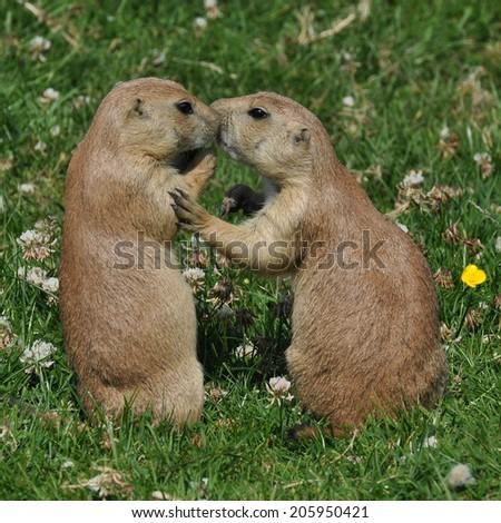 Prairie Kiss - stock photo