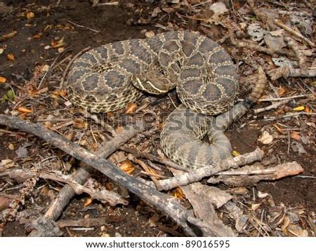Prairie Rattlesnake, Crotalus viridis, coiled defensively - stock photo