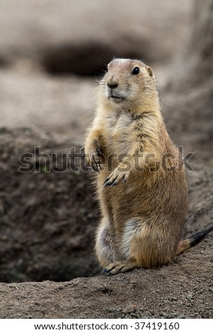 Prarie dog standing next to its hole. These animals native to the grasslands of North America - stock photo