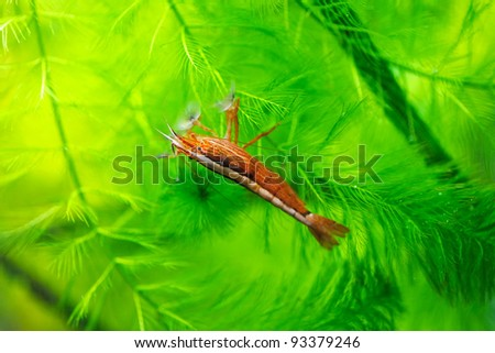 Prawn in the deep water - stock photo