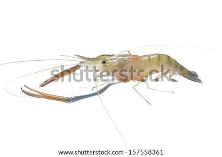 prawn, raw shrimps alive isolated on white background - stock photo