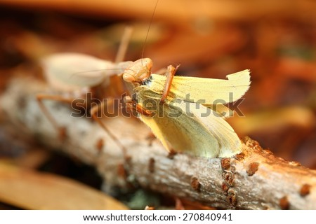 Praying mantis eating a cabbage white butterfly on a stick and brown leaves background - stock photo