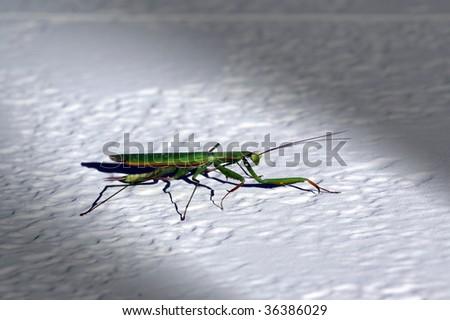 Praying Mantis illuminated by a spotlight - stock photo