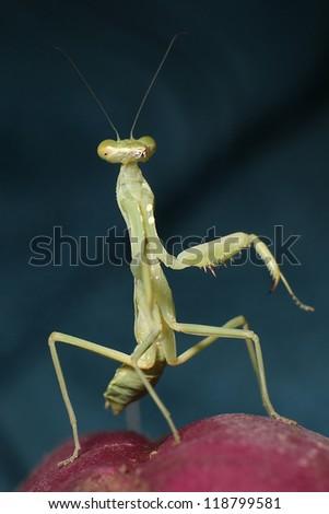 Praying Mantis - in concert - stock photo
