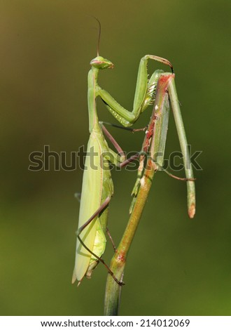 Praying Mantis insect in nature - stock photo