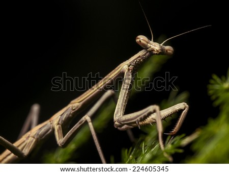 Praying Mantis (Juvenile)