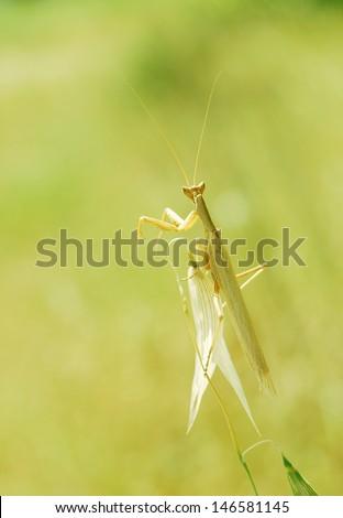 praying mantis macro-green bokeh- shallow depth of field - stock photo