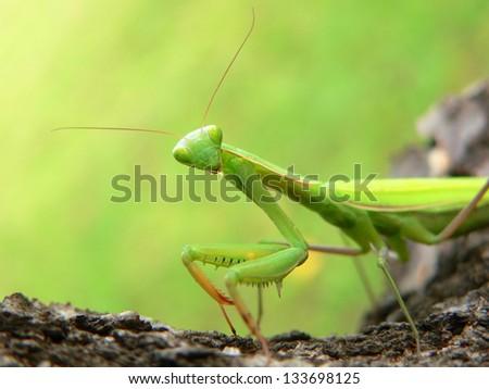 Praying Mantis - Mantis religiosa - stock photo