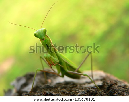 Praying Mantis - Mantis religiosa - stock photo