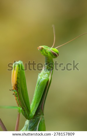 praying mantis motionless on a branch - stock photo