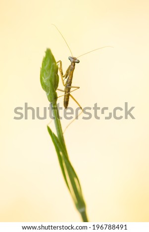 Praying Mantis Nymph Perched on Top of a Flower Bud - stock photo