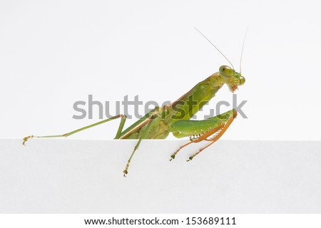 Praying Mantis. on white background