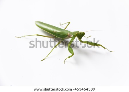 praying mantis on white background